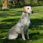 Upcoming Labrador Litters in Minnesota