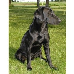 Colby, a Black Lab for Stud Service