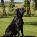 Male Black Labs for Sale in Minnesota