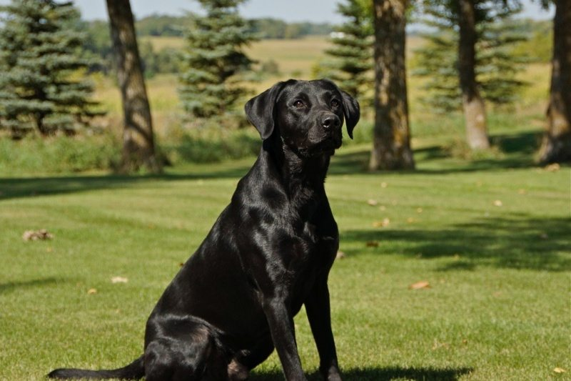 Waterfowl Hunting Dogs For Sale