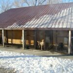 Labradors for sale at our facility in Minnesota