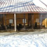 Black Labradors inside kennel in Minnesota