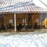Black Labradors inside kennel in Minnesota