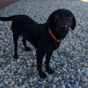 Black Female British Labrador