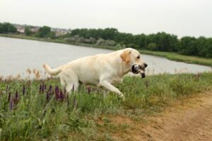 Why Are Labradors Such Good Hunting Dogs?