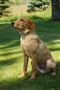 Healthy Labrador Retrievers